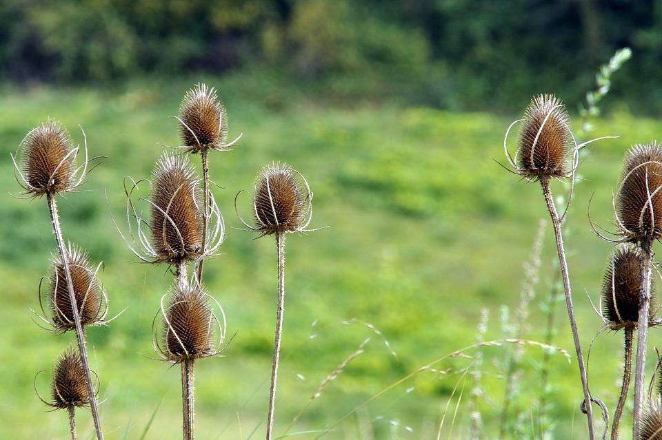 Thistle, Autumn, Nature, Dry Race