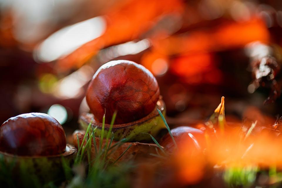 Chestnut, Closeup, Foliage, Autumn, Nature, Tree