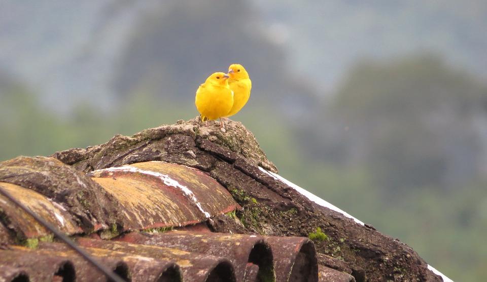 Nature, Bird, Ave, Canary