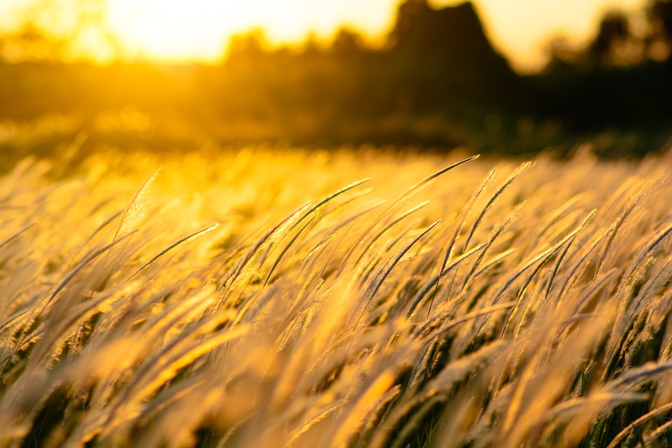 Nature, Grass, Sunset, Field, Golden, Wind, Background