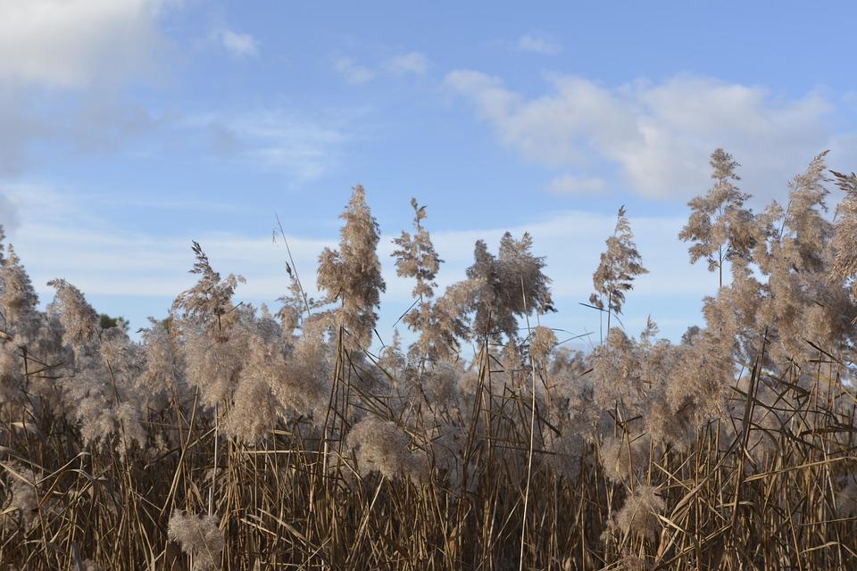 Reed, Landscape, Nature, Grasses, Background