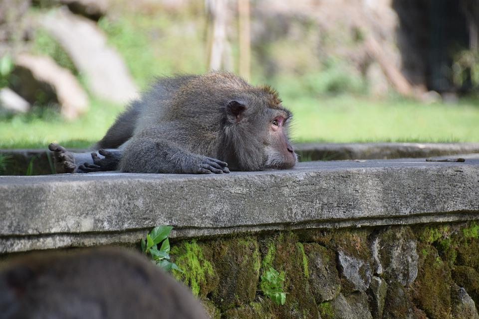 Monkey, Bali, Nature, Animal Portrait, Beast, Primate