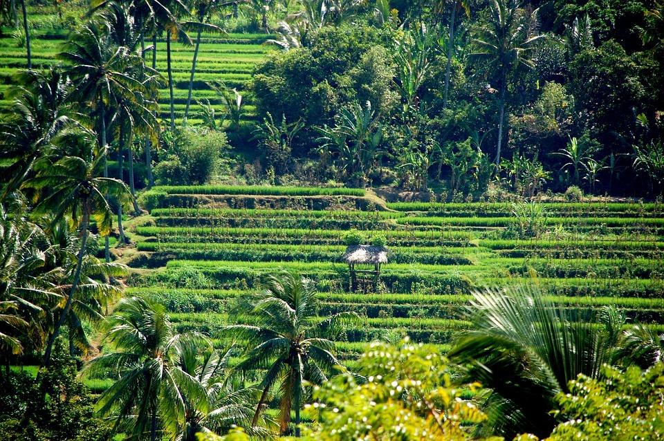 Rice Fields, Nature, Bali