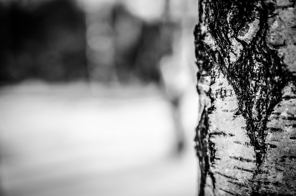 Birch Tree, Bark, Tree, Nature, Birch, Gray Nature