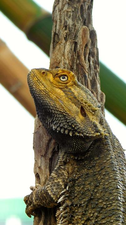 Bearded Dragon, Reptile, Lizard, Animal, Nature, Fauna