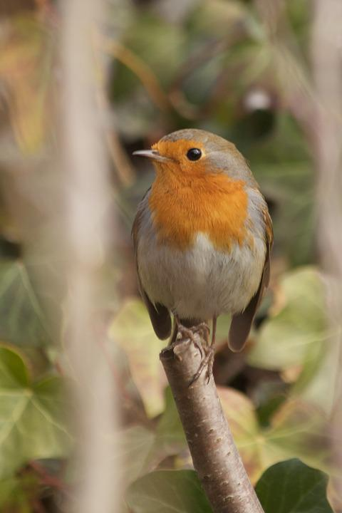 Robin, Nature, Songbird, Bird, Beautiful, Spring
