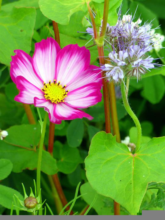 Flower, Mallow, Nature, Plant, Bloom, Blossom, Beauty
