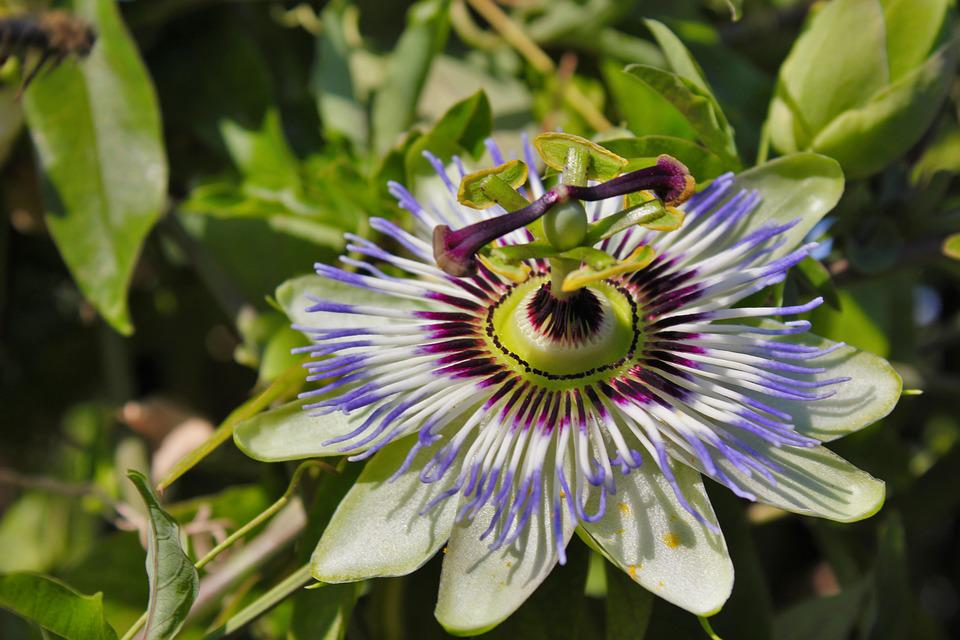 Passion Flower, Nature, Beauty, Close Up, Exotic