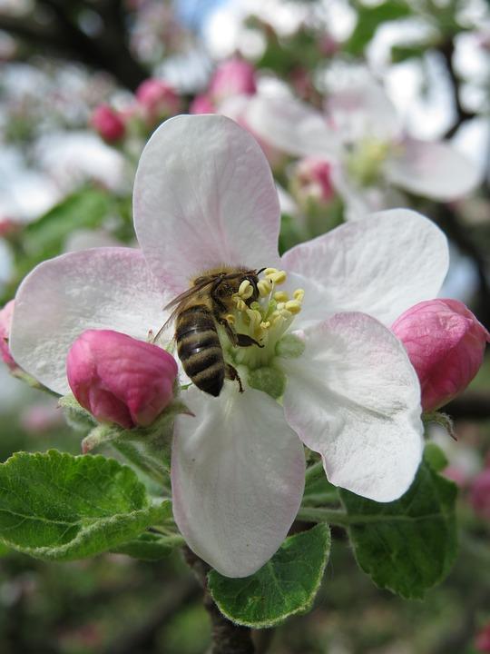 Bee, Apple Flower, Nature, Flora, Tree