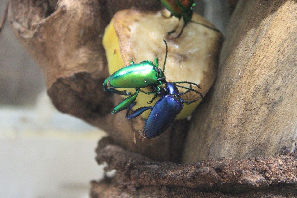 Beetles, Animal, Insects, Nature, Beetle, Insect