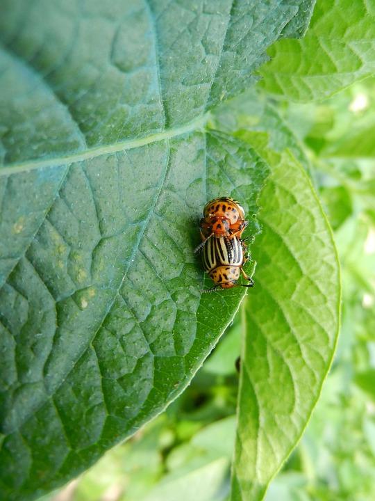 Silver Potato, Beetles, Nature