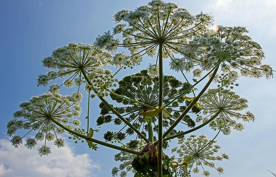 Heracleum Mantegazzianum, Bereklouw, Plant, Nature