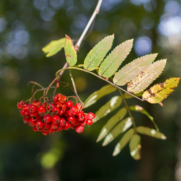 Berries, Berry, Tree, Nature, Leaves, Autumn, Fall, Sun