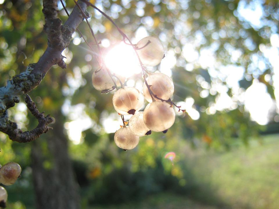 Currant, Berry, Nature, Sun, Garden