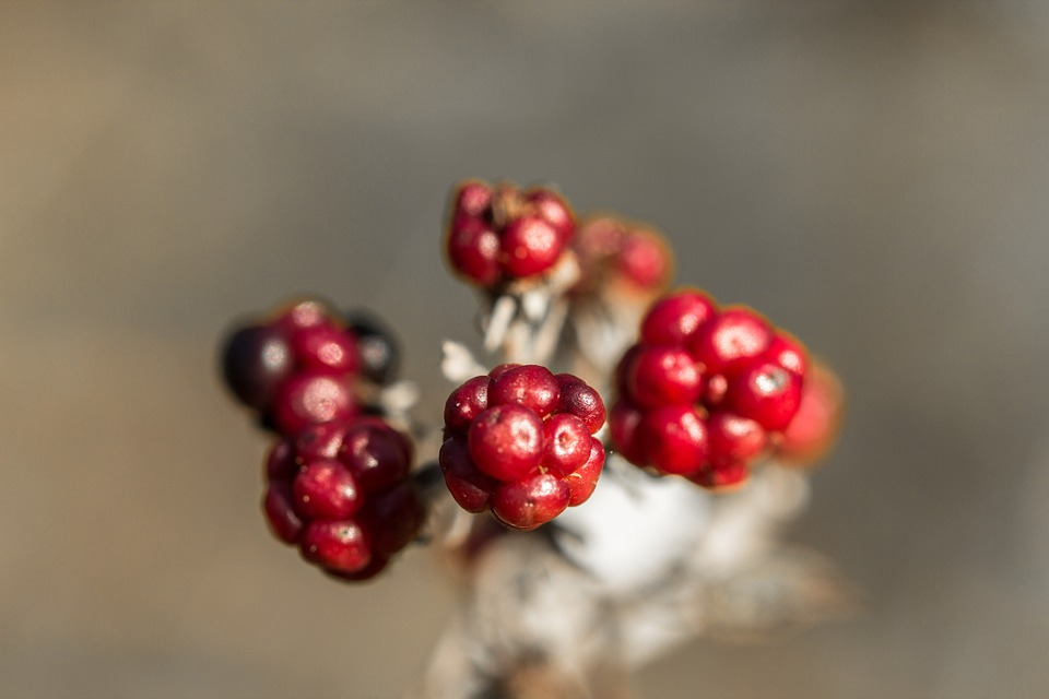 Plant, Berry, Bed, Berry Red, Autumn, Branches, Nature