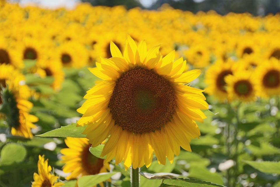 Sunflower, Nature, Yellow Flower, Big Flower