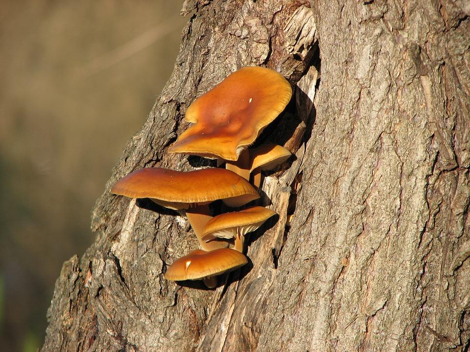 Mushroom, Wood, Nature, Tinder Fungus, Bark, Billet