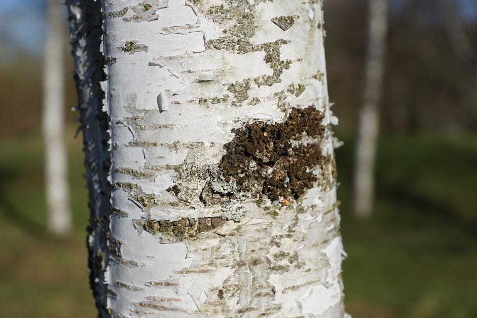 Birch, Tree, Bark, Nature