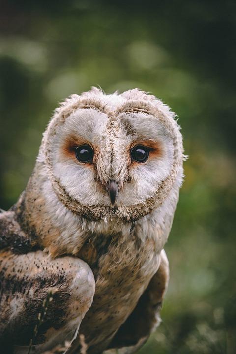 Owl, Bird, Animal, Eyes, Wildlife, Nature, Feather