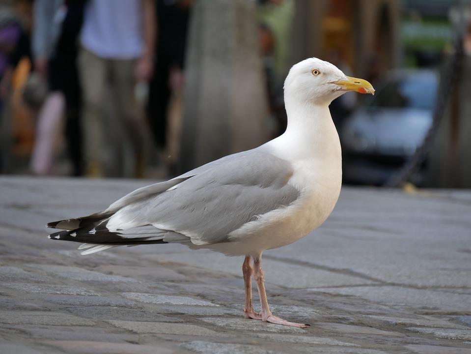 Nature, Animal World, Seagull, Bird, Background