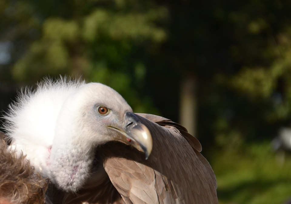 Vulture, Bird, Animal, Animal World, Nature, Bill
