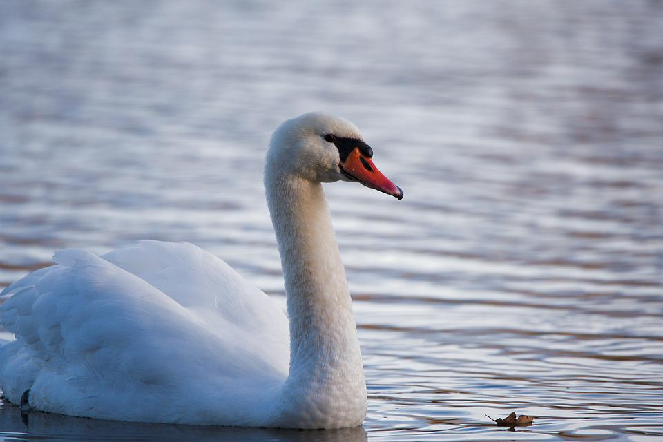 Bird, Swan, Waters, Nature, Animal World, Lake, Feather