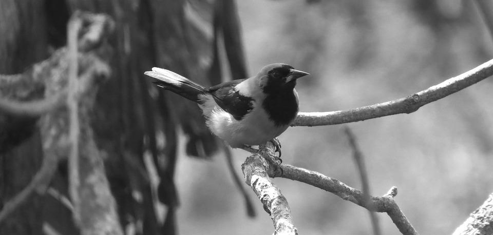 Nature, Ave, Bird, Black And White