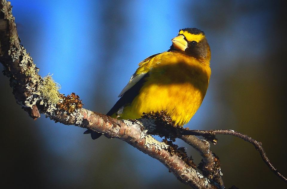 Bird, Evening Grosbeak, Bright Colors, Nature, Québec