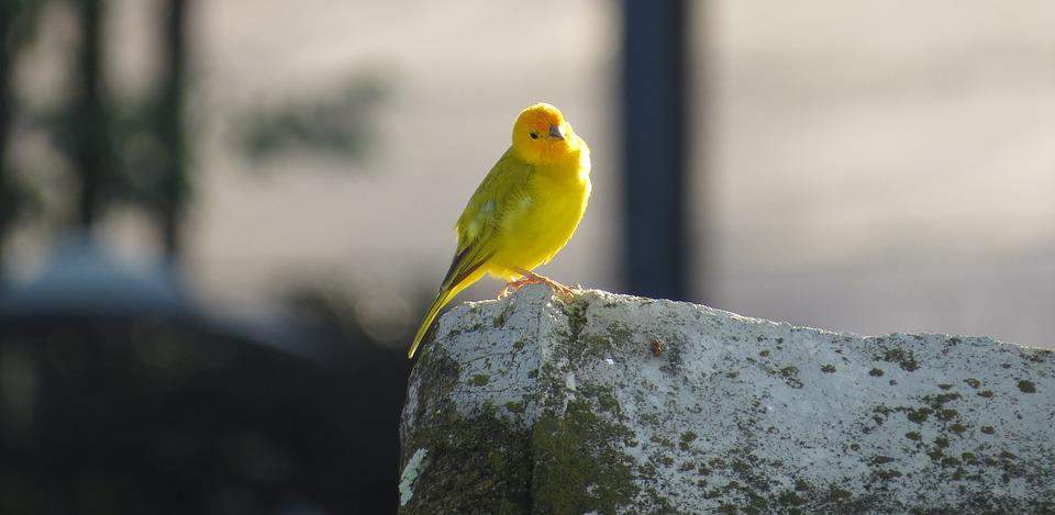 Nature, Bird, Ave, Canary