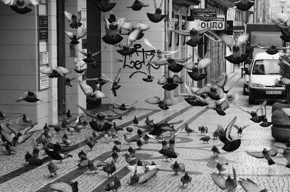 Flock Of Doves, Dove, Bird, Poultry, Nature