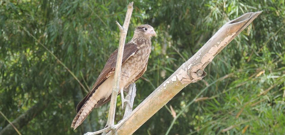 Nature, Bird, Bird Of Prey, Aguilucha, Ave, Fauna