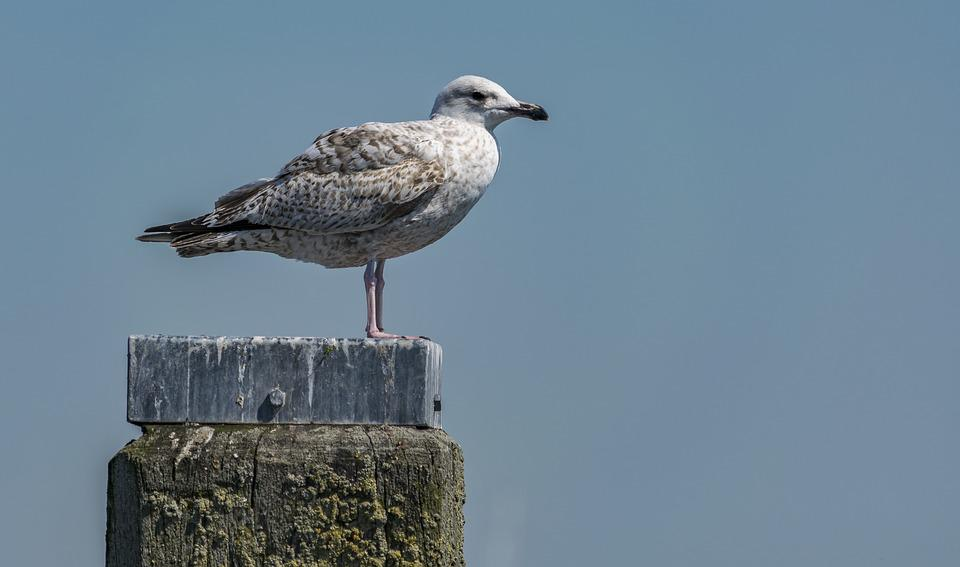 Bird, Nature, Sea, Gull