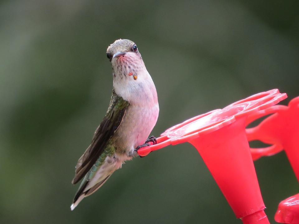 Nature, Outdoors, Bird, Wildlife, Hummingbird