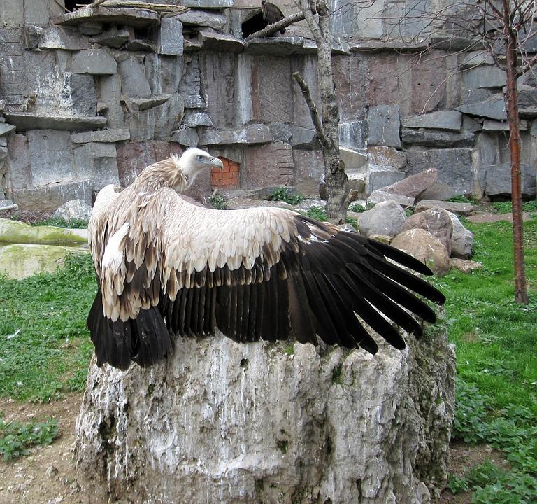 Bird, Nature, Animals, Bird Of Prey, Vulture, Wing, Zoo