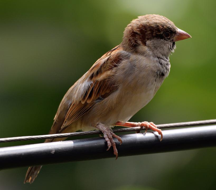 House Sparrow, Bird, Bird On A Wire, Nature
