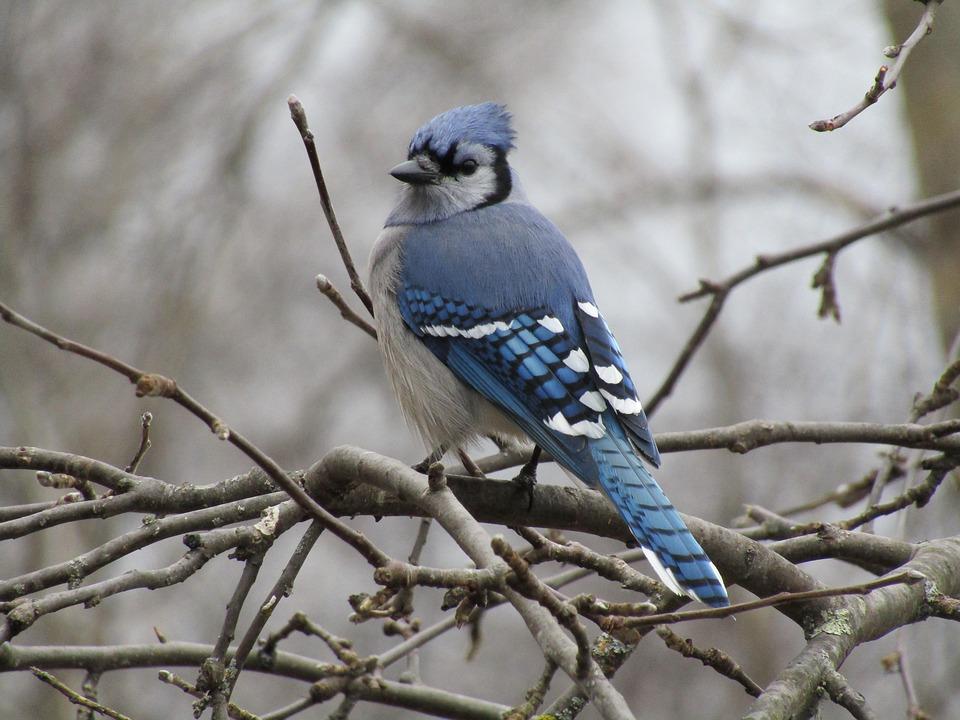 Bird, Blue Jay, Wildlife, Nature, Outdoors, Animal