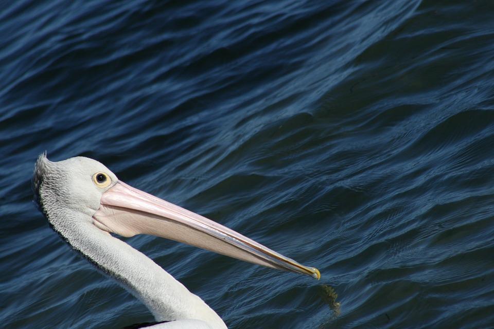 Pelican, Bird, Aves, Animal, Fauna, Nature, Water