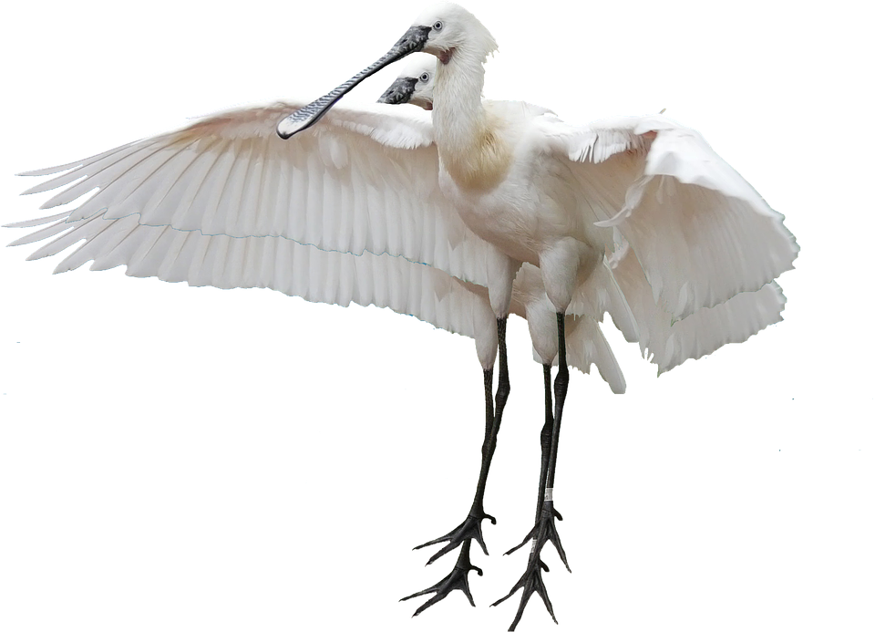 Isolated, Stork, Bird, Nature, Animals, Rattle Stork
