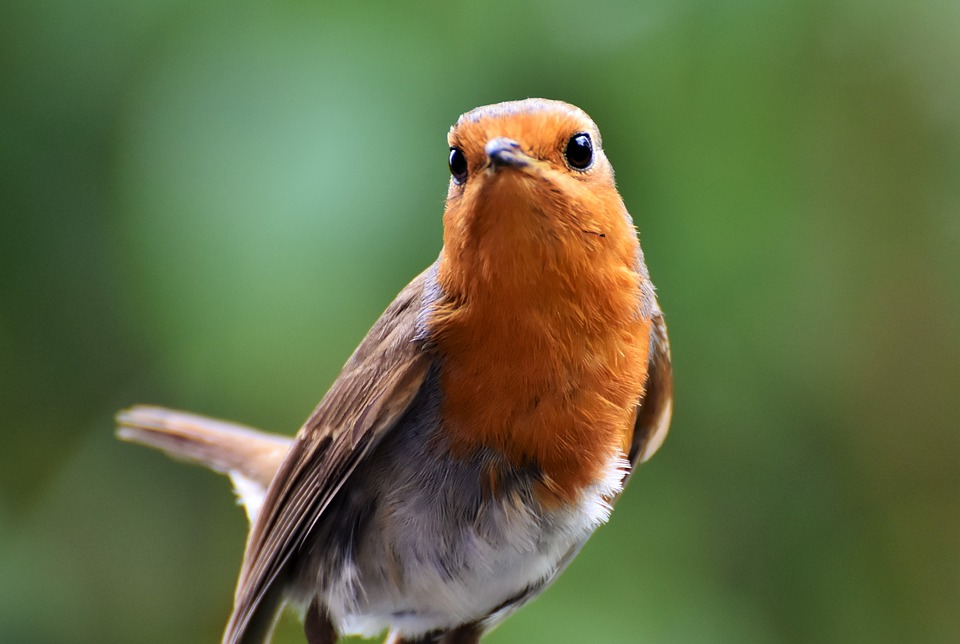 Robin, Bird, Songbird, Animal, Small Bird, Nature