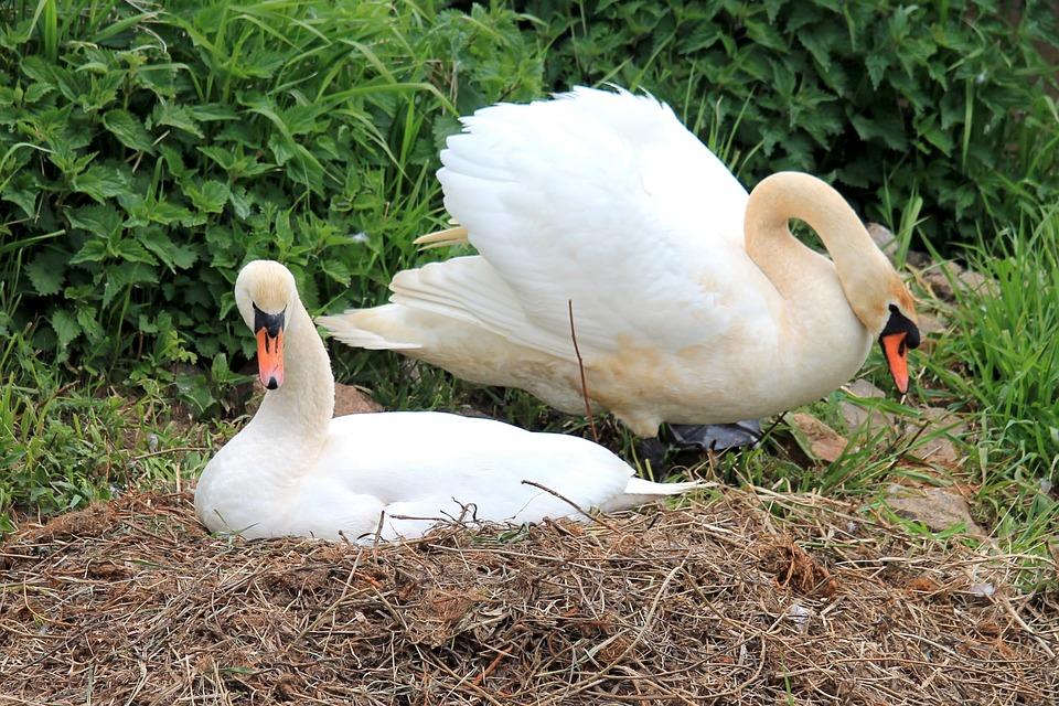 Swans, Nest, Swan's Nest, Bird, Nature
