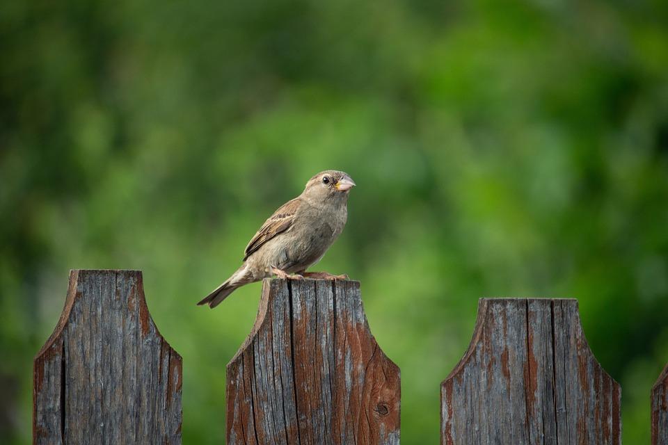 Sparrow, Bird, Nature, Animal, Urban Birds, Fence