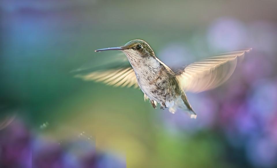 Hummingbird, Flying, Bird, Wildlife, Nature, Wings