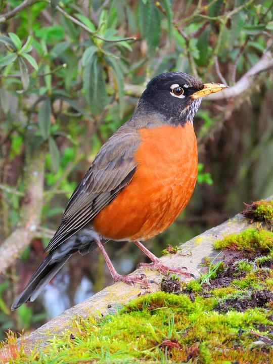 free photo nature birding red robin redbreast garden bird max pixel