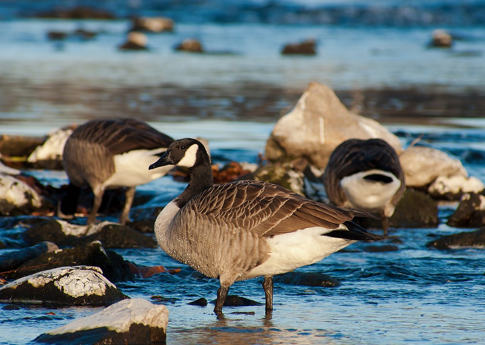 Canada Goose, Birds, Nature