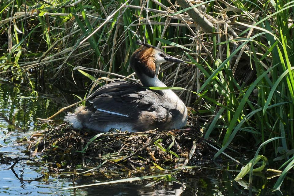 Grebe, Bird's Nest, Hatch, Nature, Birds, Wildlife