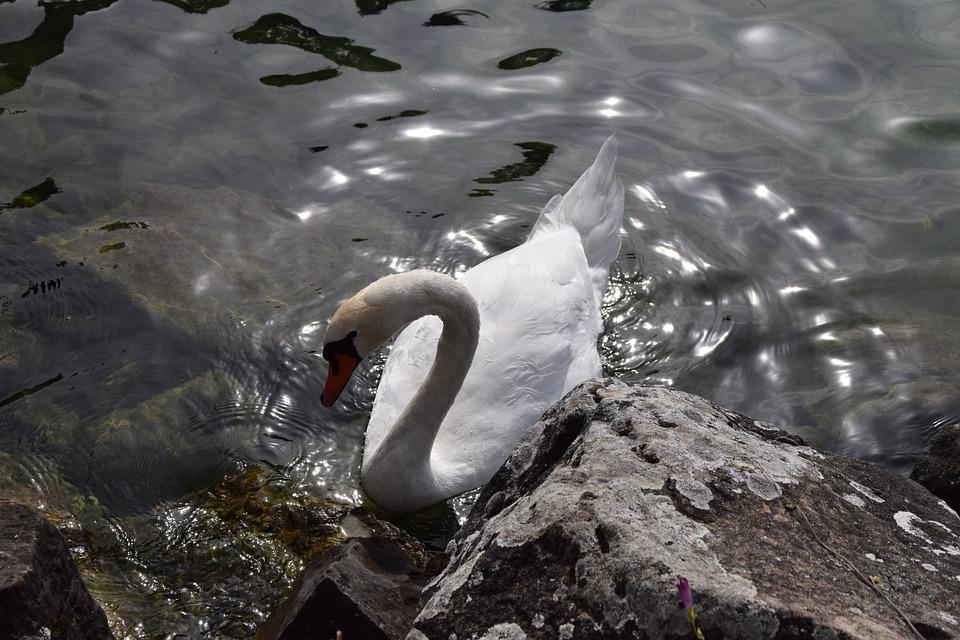 Animals, Birds, Swans, Park, Nature, Haute Savoie