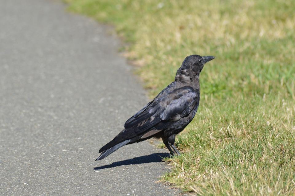 Bird, Crow, Avian, Nature, Black, Wildlife, Beak