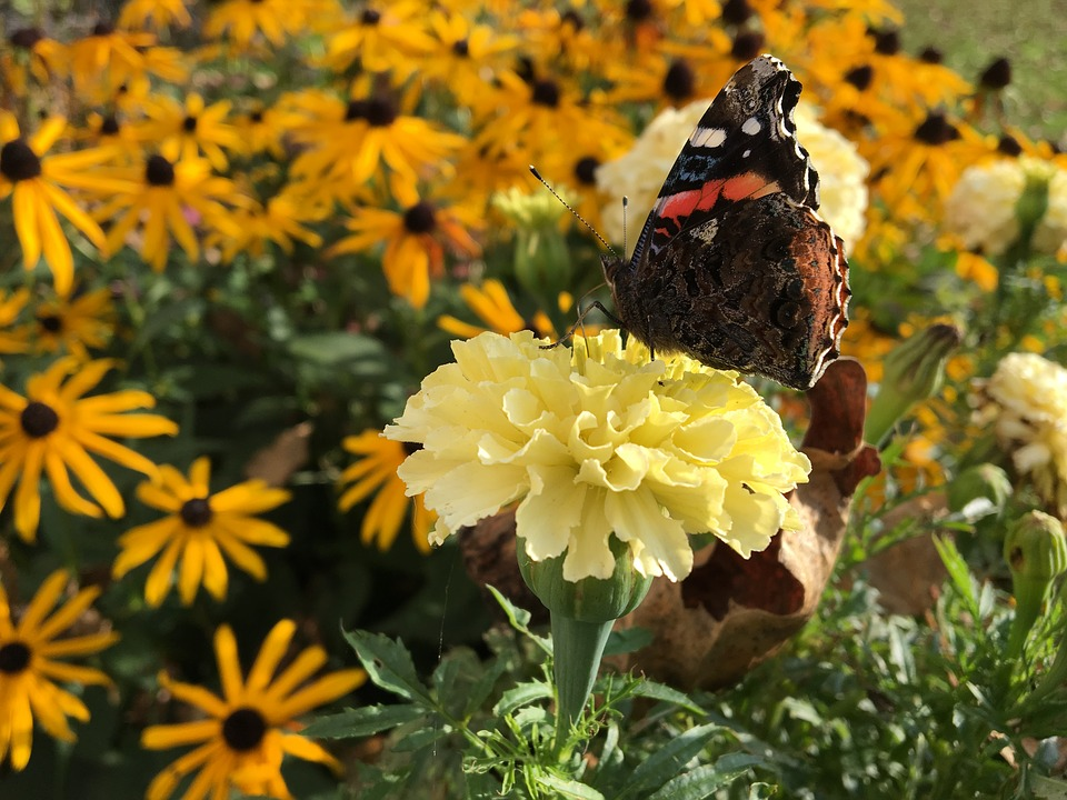 Butterfly, Flower, Marigold, Black-eyed Susan, Nature