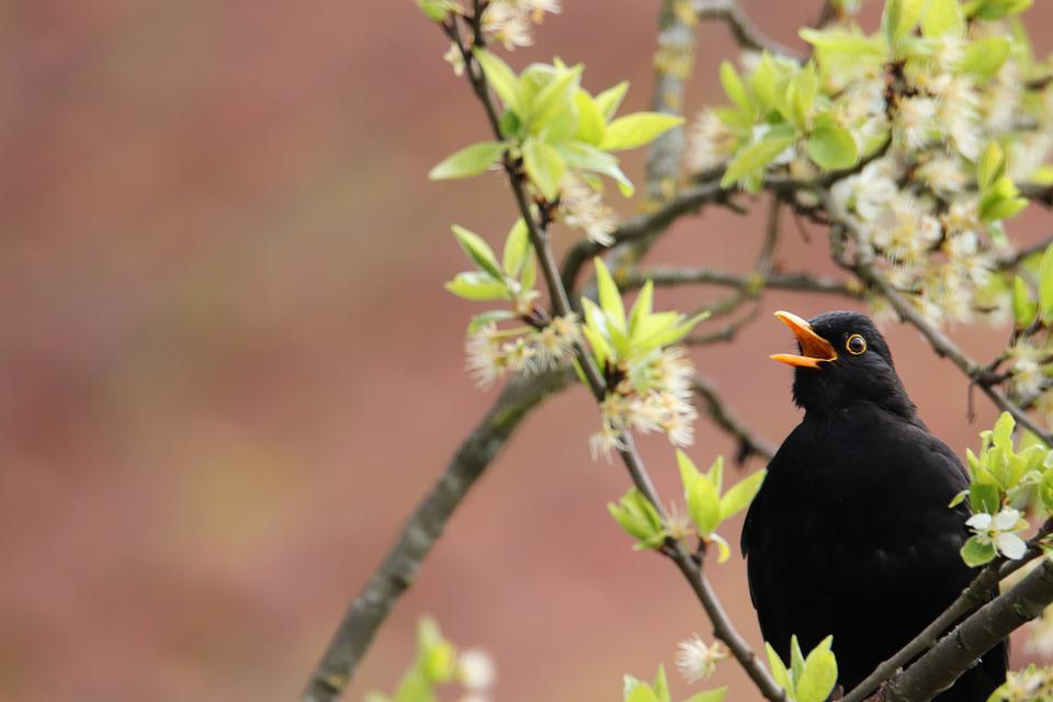 Blackbird, Bird, Animal, Nature, Bill, Songbird