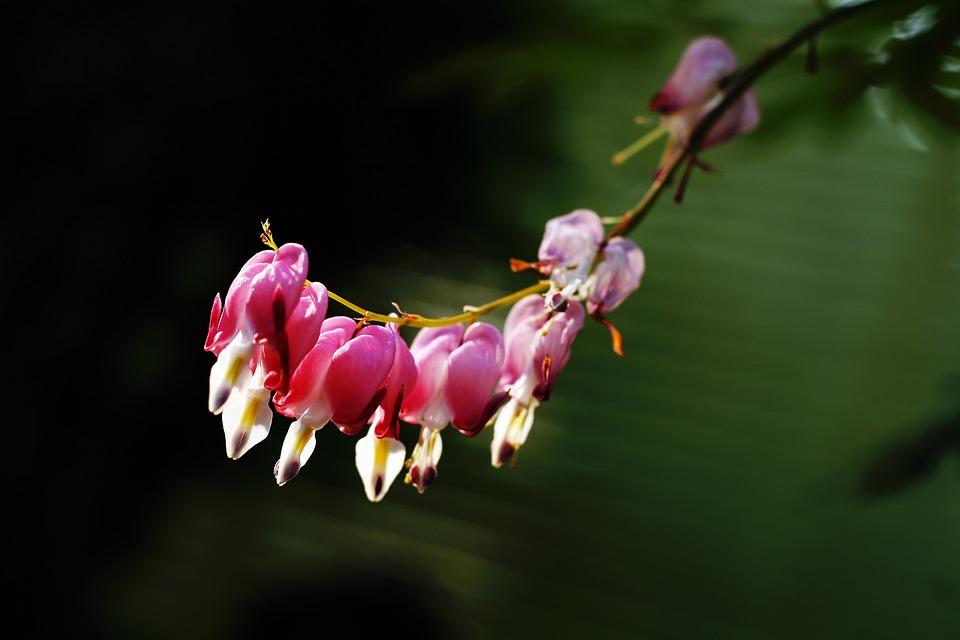 Tabitha, Nature, Plants, Flowers, Bleeding Heart
